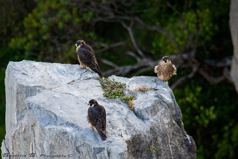 Palinuro è ancora papà: 3 piccoli falchi sorvegliano il Capo