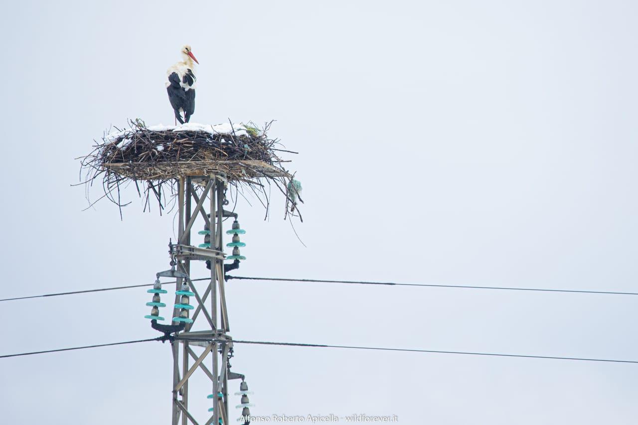 Cicogna nidifica nel Vallo di Diano, il miracolo si rinnova da 26 anni