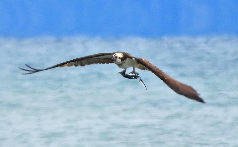 La caccia del falco pescatore nel mare del golfo di Policastro   FOTO