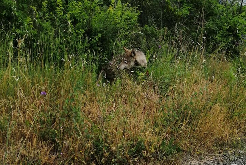 Cilento, lupo in pieno giorno sulla strada Galdo-Stella   FOTO