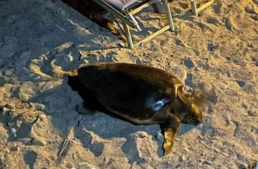 Agnone Cilento, ombrelloni e poca sabbia: mamma tartaruga non depone