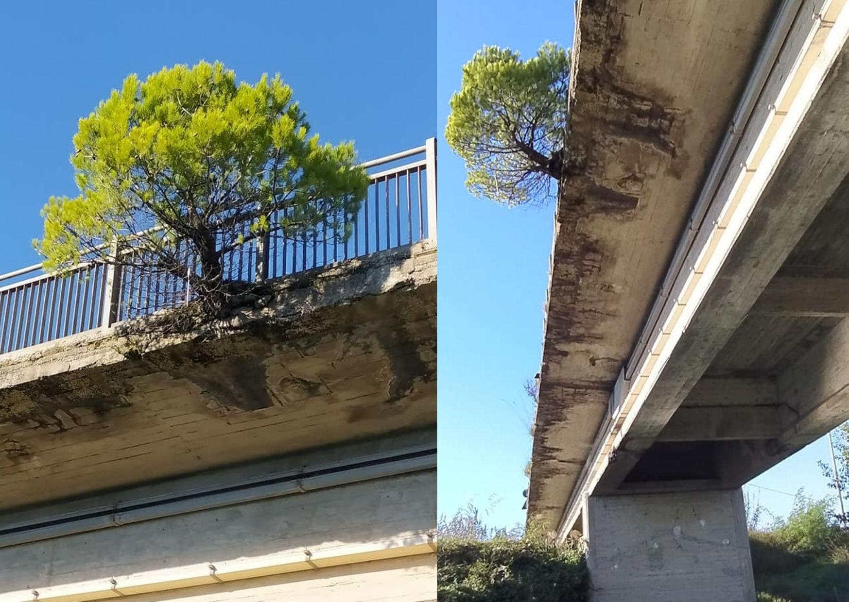 Casal Velino, nel ponte malconcio cresce un albero