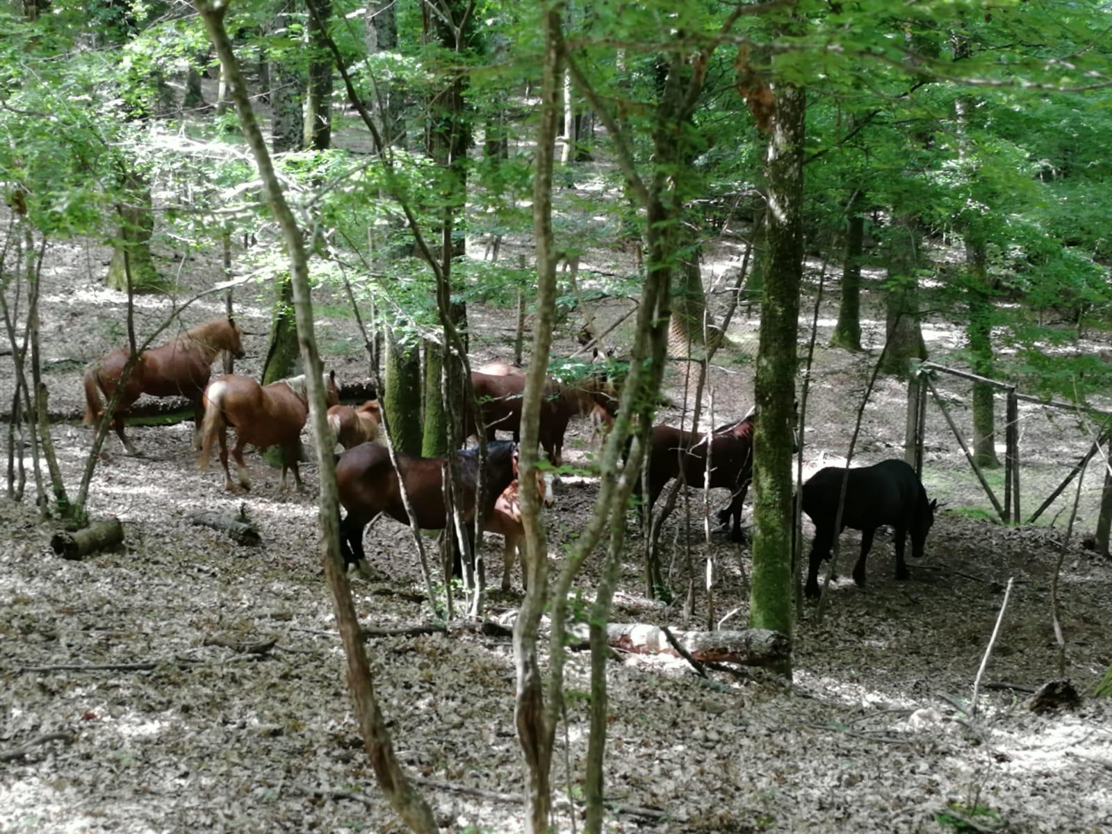 Vagavano tra le montagne, cavalli recuperati e trasferiti nella foresta di Montesano sulla Marcellana